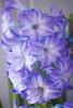 Hyacinth orientalis