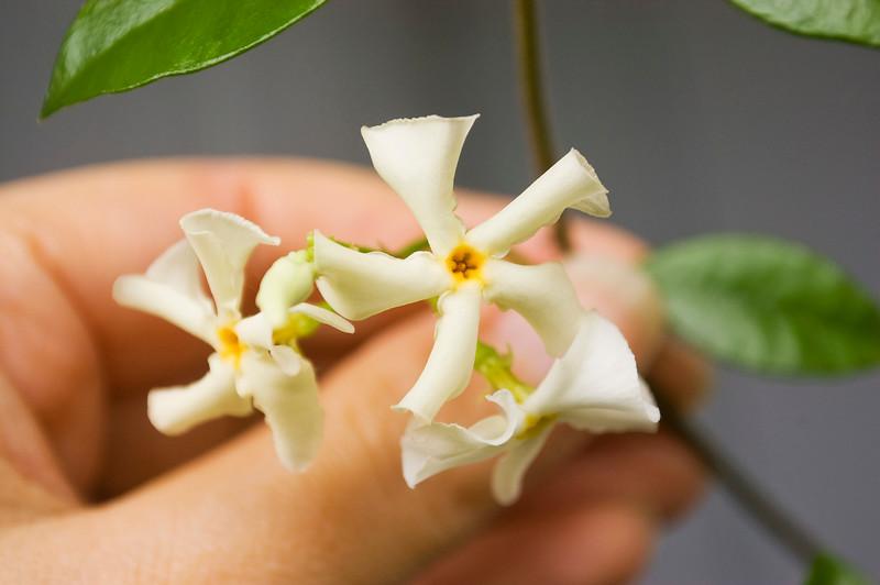 Trachelospermum jasminoides (Confederate jasmine)