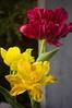 Tulipa (forced tulips)