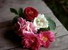 Rosa gallica var. officnalis (Apothecary Rose), Rosa mundi, Rosa 'Quatre Saisons,' Rosa 'Tuscany,' Rosa alba semi-plena (White Rose of York)