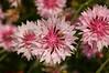 Centaurea, pink