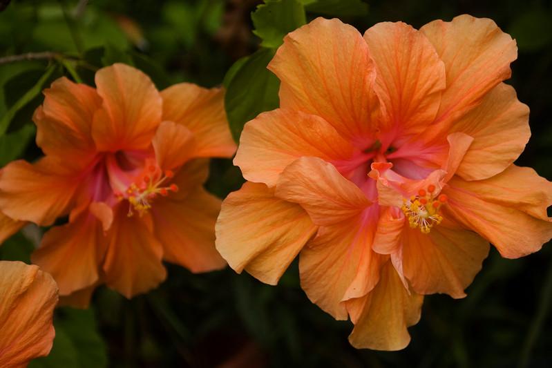 Hibiscus rosa-sinensis, double peach (tropical hibiscus)