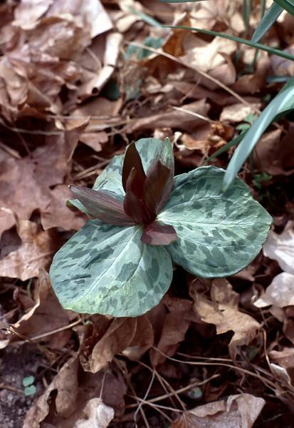 Trillium sessile