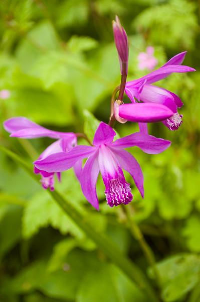 Bletilla striata (ground orchid)