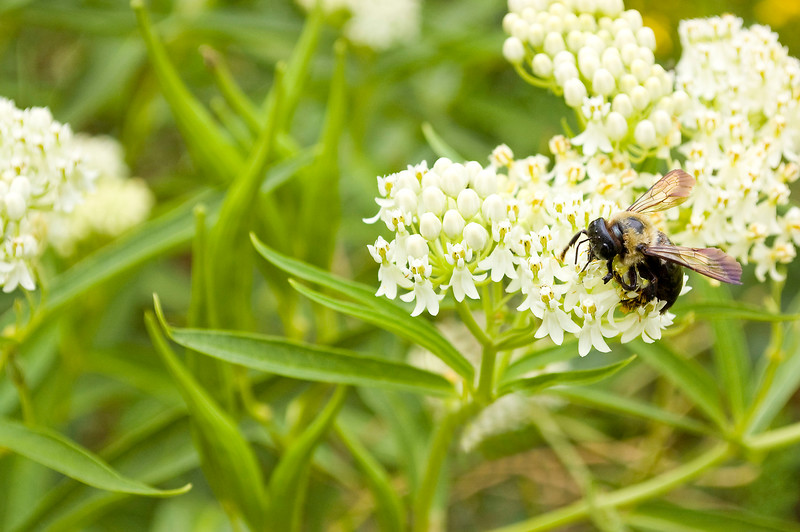 Asclepias with bumble bee