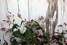 Polygonum pensylvanicum (smartweed)
