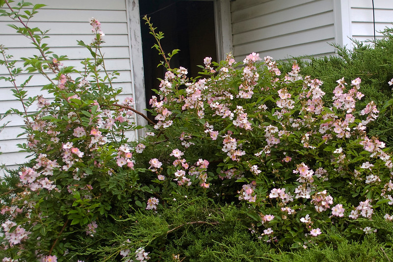 Rosa chinensis (angel rose) on juniper bush