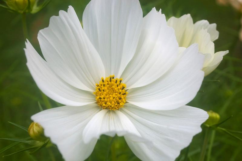 Cosmos, white