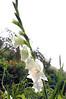 Gladiolus, white