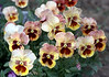 Viola x wittrockiana 'Flambe' (pansies, scanned from photo)