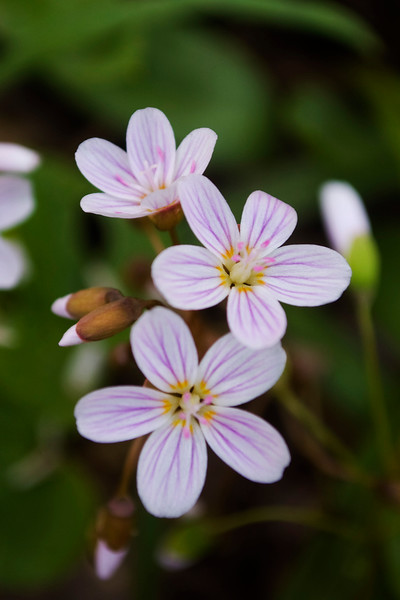 Claytonia virginica (spring beauties)