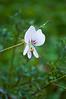 Pelargonium myrrhifolium