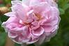 Rosa 'Banshee'