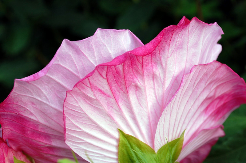 Hibiscus moscheutos back (hardy hibiscus back)