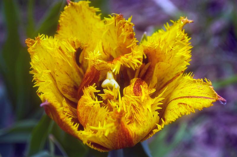Tulipa 'Bastia'