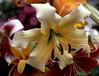 Lilium orienpet (Orienpet lily)