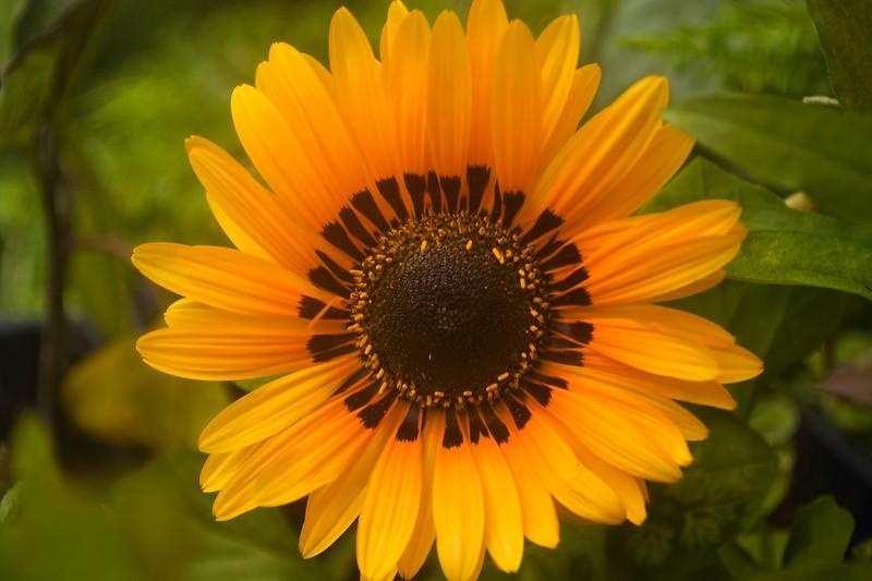 Venedium 'Orange Prince'