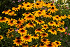 Rudbeckias (black-eyed Susans)