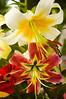 Lilium orienpet (Orienpet lilies)