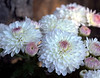 Chrysanthemum (mum), pink and white