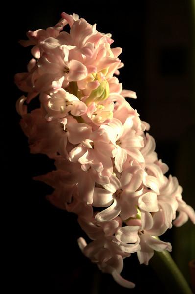 Hyacinthus orientalis (Dutch hyacinth)