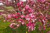 Malus (crabapple) cultivar