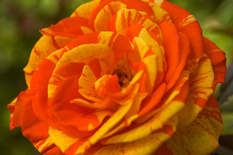 "Rosa ""Oranges and Lemons'"