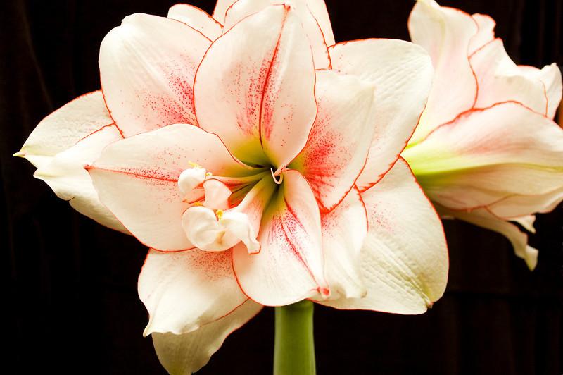 Hippeastrum 'Elvas' (amaryllis)