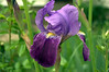 Iris germanica, lavender and purple (bearded iris)