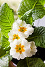 Primula polyantha, white