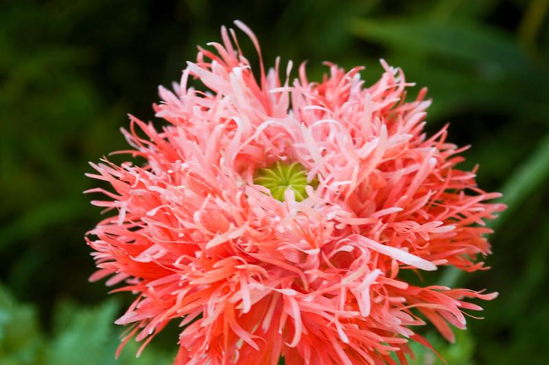 Papaver laciniatum, coral