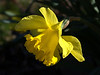 Narcissus 'King Alfred' (daffodil)