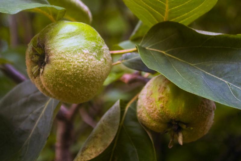 Cydonia oblonga (quinces)