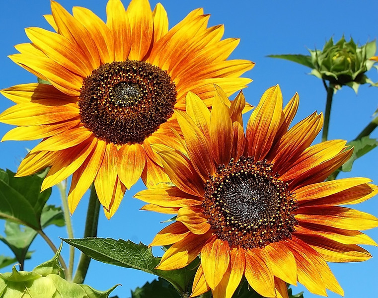 Helianthus annuus, red and yellow (sunflowers)