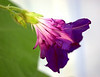 Ipomoea purpurea 'Indigo Feathers'