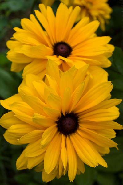 Rudbeckia, double yellow (black-eyed Susan)
