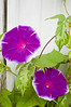 Ipomoea nil, magenta and white (Japanese morning glory)