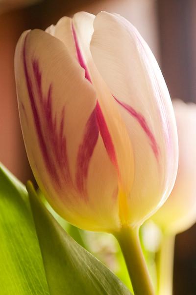 Tulipa, white stirped with maroon (tulip)