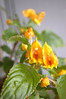 Impatiens auricoma 'Jungle Gold'