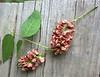 Apios americana (groundnut)