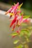 Cuphea cyanea (pink cigar plant)
