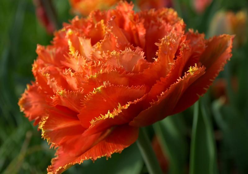 Tulipa 'Sensual Touch' (double tulip)