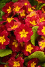 Primula polyanthus, red type