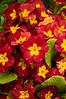 Primula polyanthus, red type