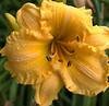 Hemerocallis, ruffled yellow (daylily)