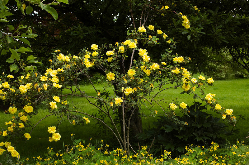 Rosa 'Harison's Yellow' with Chelidonium majus (celandine)