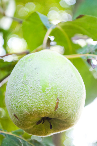 Cydonia oblonga (quince), green