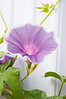 Ipomoea nil 'Gray Morning Mist' (Japanese morning glory)