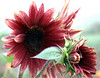 Helianthus annuus, red (sunflower)