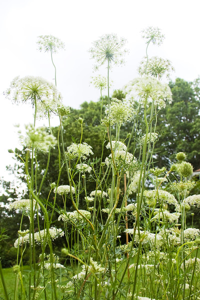 Daucus carota (Queen Anne's Lace)